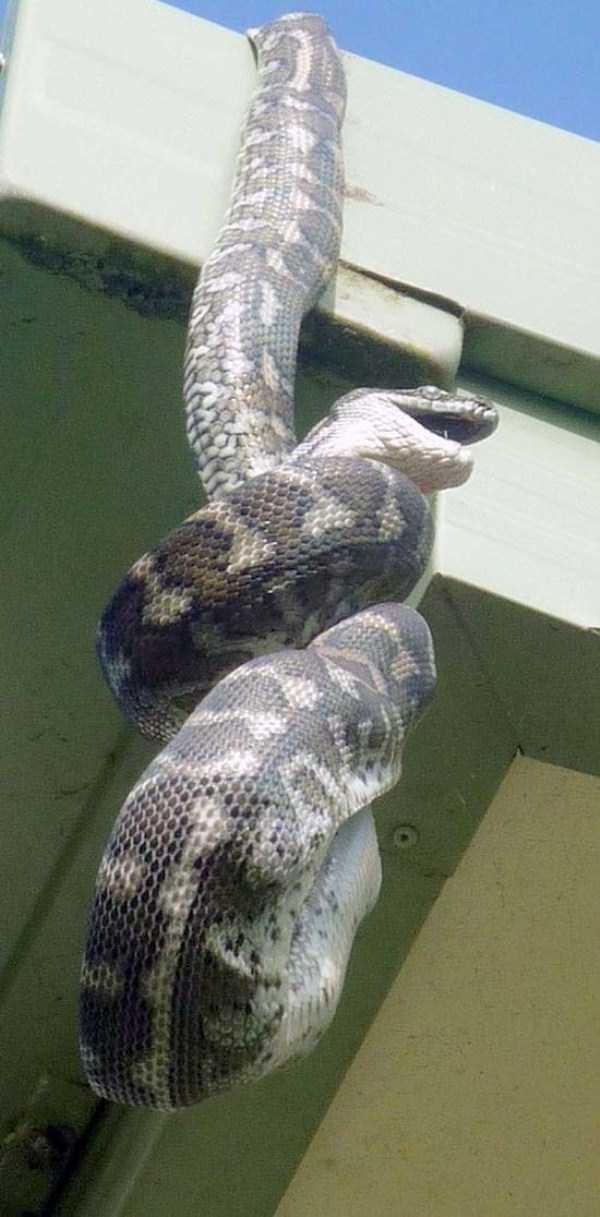 carpet-python-eats-king-parrot (17)
