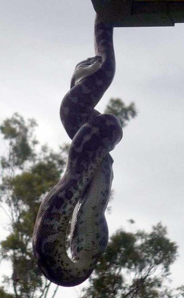 carpet-python-eats-king-parrot (18)