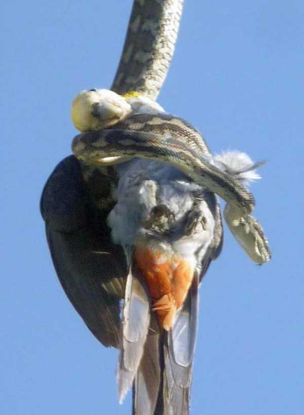 carpet-python-eats-king-parrot (2)