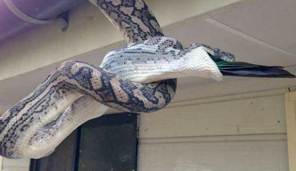 carpet-python-eats-king-parrot (22)