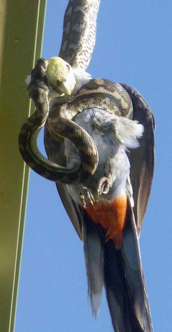 carpet-python-eats-king-parrot (3)