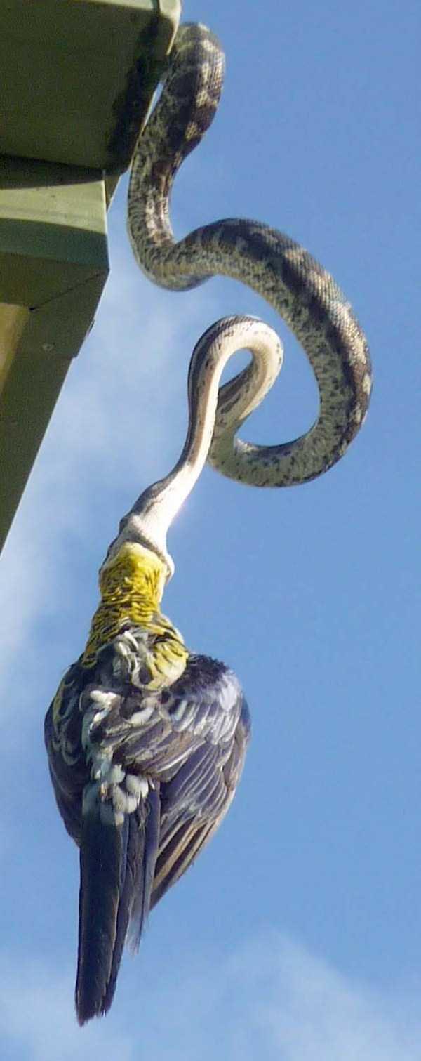 carpet-python-eats-king-parrot (4)