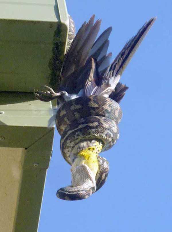 carpet-python-eats-king-parrot (5)