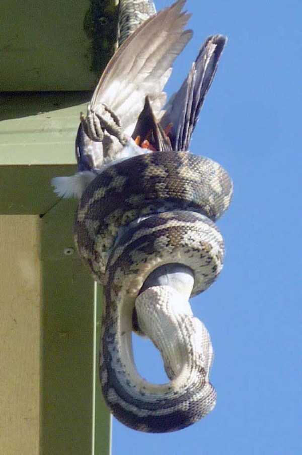 carpet-python-eats-king-parrot (6)