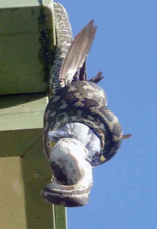 carpet-python-eats-king-parrot (7)