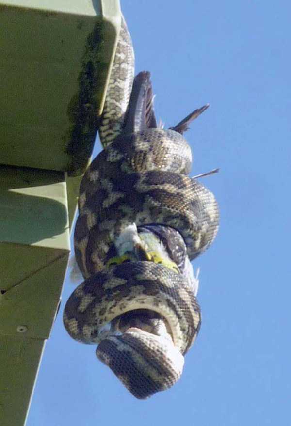 carpet-python-eats-king-parrot (8)