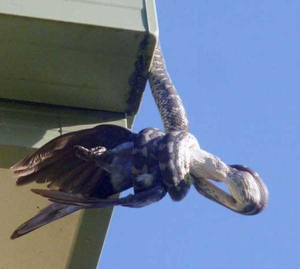 carpet-python-eats-king-parrot (9)