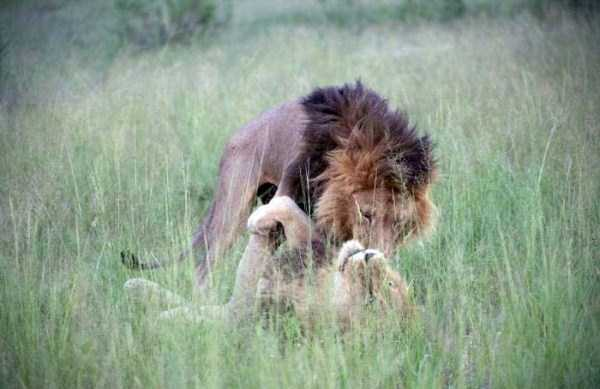 gay-lions (1)