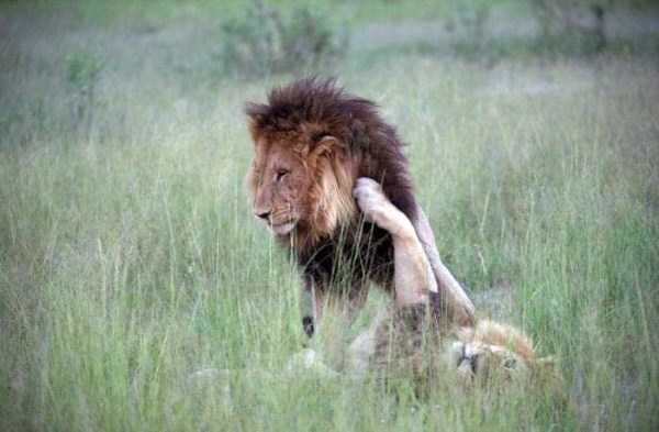 gay-lions (2)