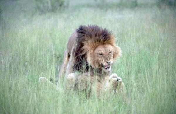 gay-lions (4)