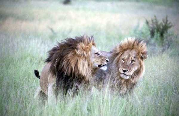 gay-lions (5)