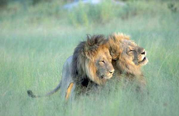 gay-lions (6)