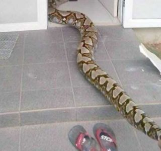 Giant Python in the Ceiling (3 photos)
