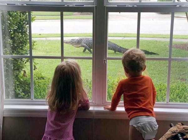 alligators-in-florida (10)