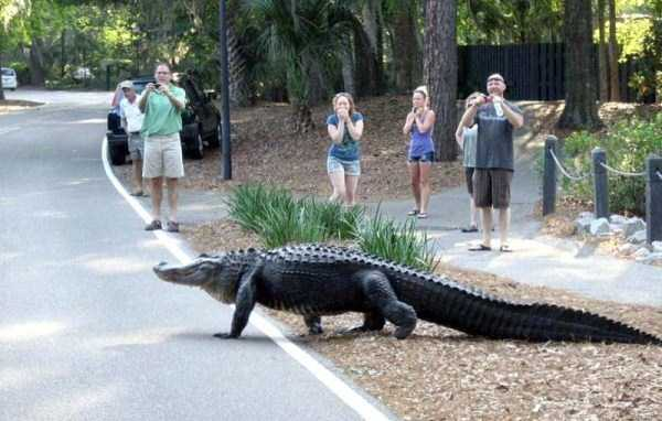 alligators-in-florida (11)