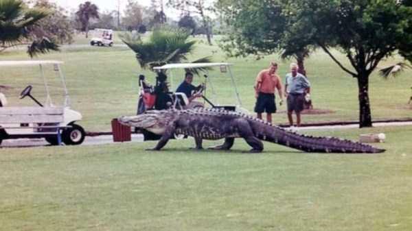 alligators-in-florida (12)