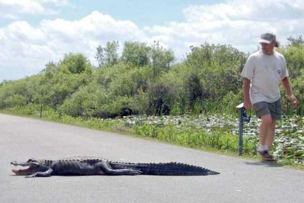 alligators-in-florida (15)