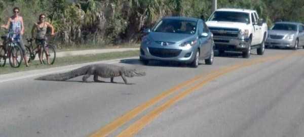 alligators-in-florida (16)