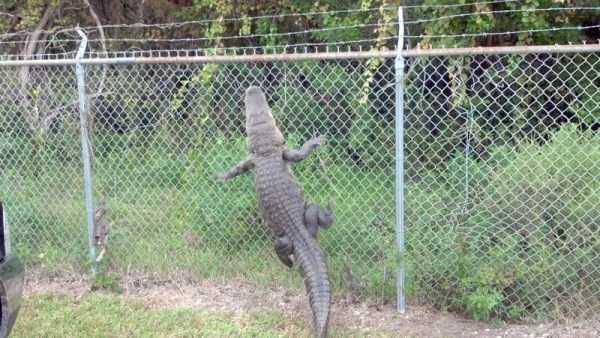 alligators-in-florida (17)