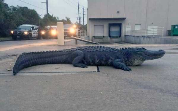 alligators-in-florida (19)