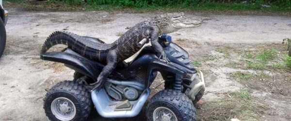 alligators-in-florida (20)