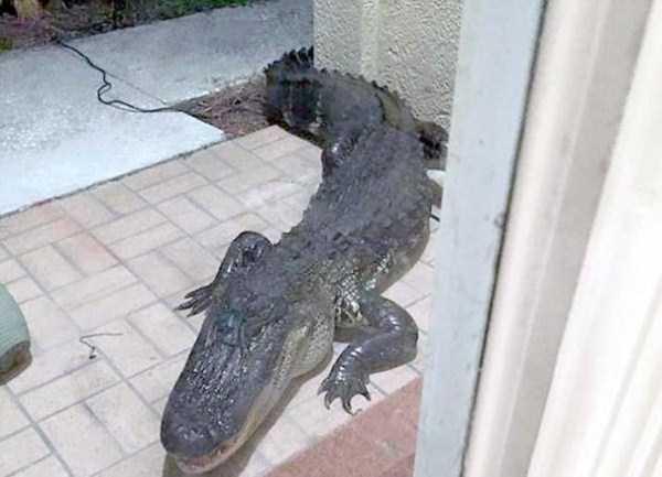 alligators-in-florida (21)
