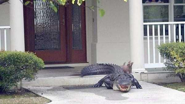 alligators-in-florida (22)