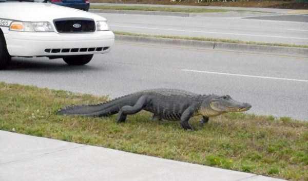 alligators-in-florida (23)