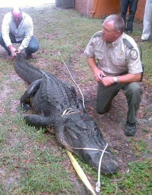 alligators-in-florida (24)