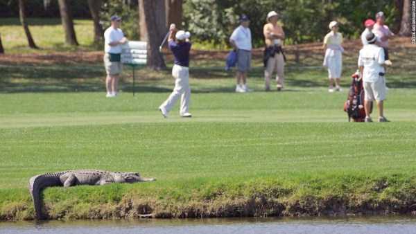 alligators-in-florida (25)