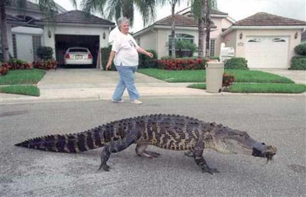 alligators-in-florida (3)