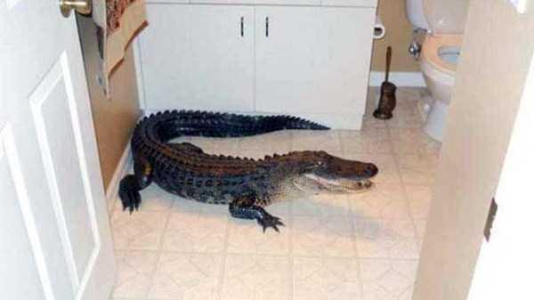 alligators-in-florida (8)