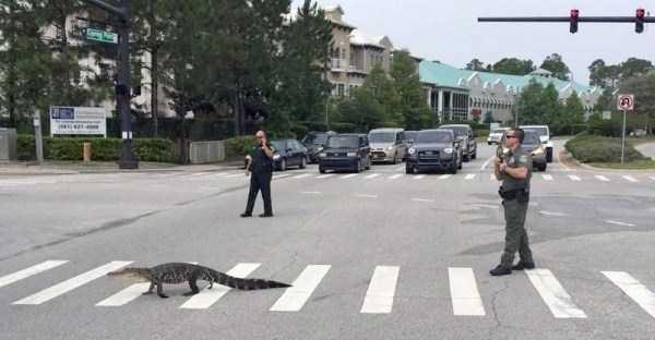 alligators-in-florida (9)