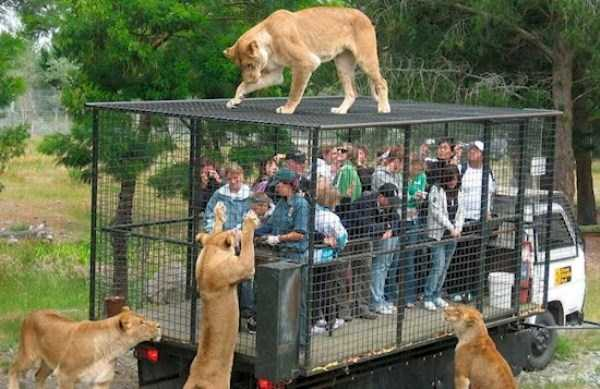 chinese-zoo-tourists-in-cages (11)