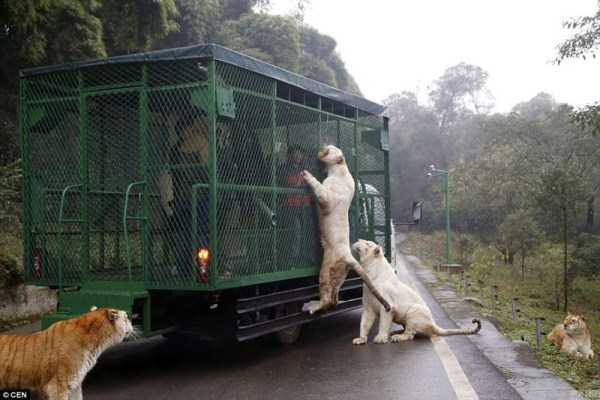 chinese-zoo-tourists-in-cages (6)