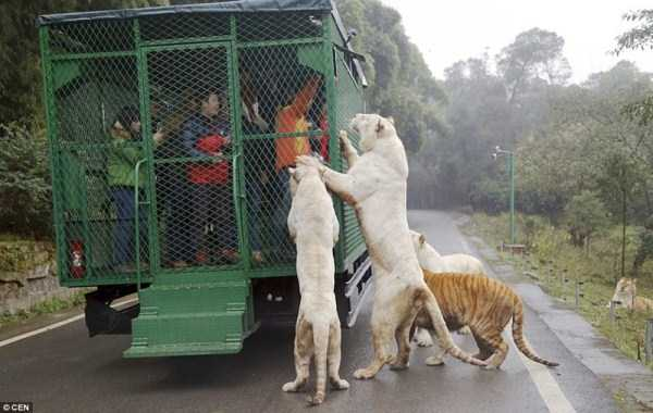 chinese-zoo-tourists-in-cages (9)