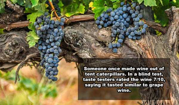 wine-facts (9)