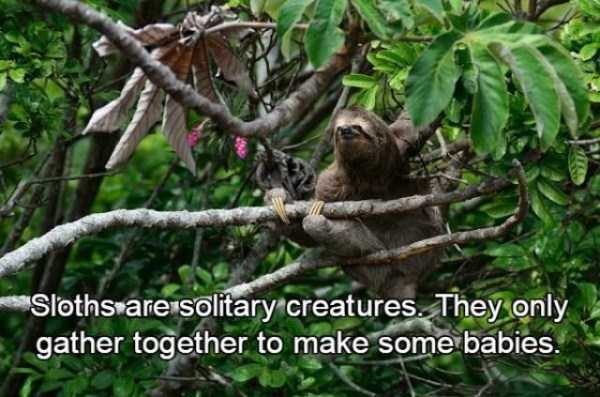 sloths-facts (10)
