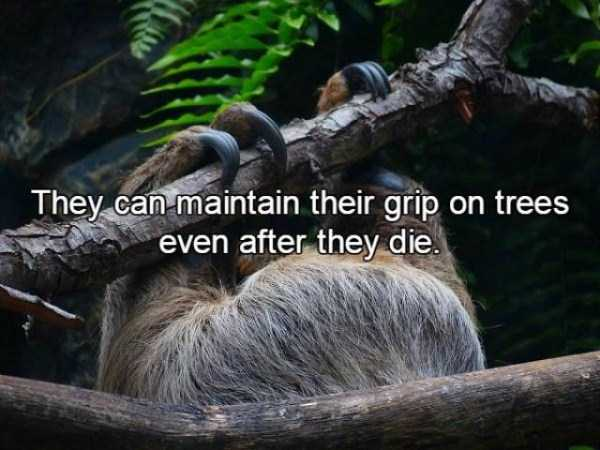 sloths-facts (11)