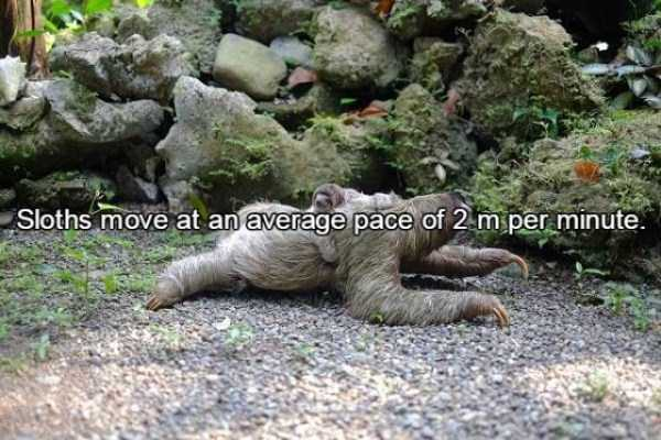 sloths-facts (12)