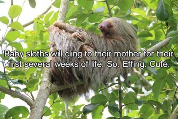 sloths-facts (13)