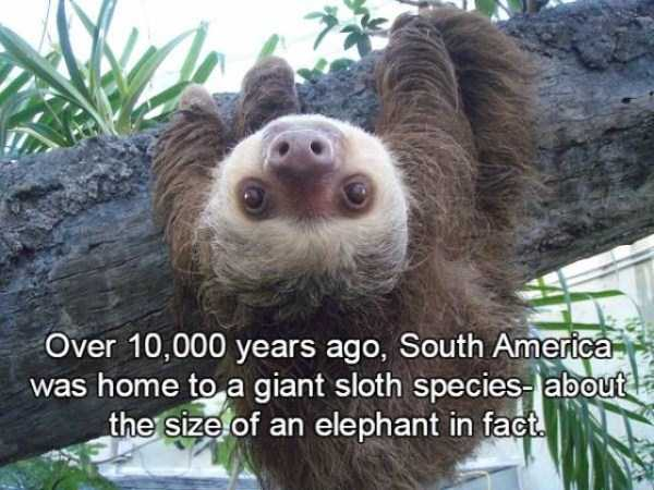 sloths-facts (14)