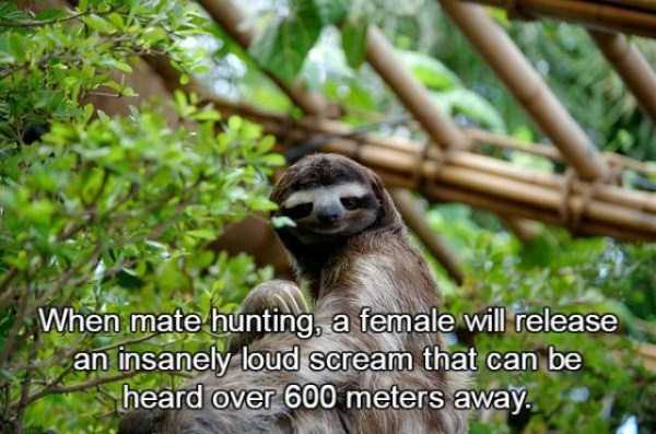 sloths-facts (15)