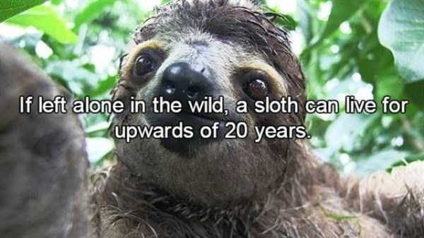 sloths-facts (2)