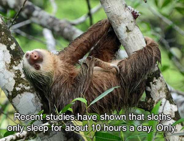 sloths-facts (4)