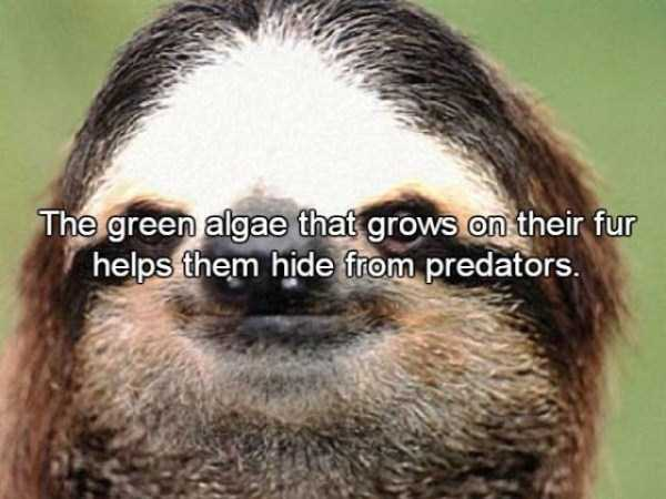sloths-facts (5)