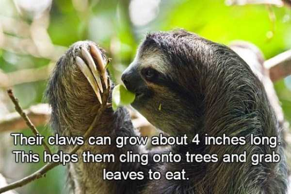 sloths-facts (9)