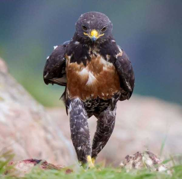 confident-hawk-photoshop-battle-1