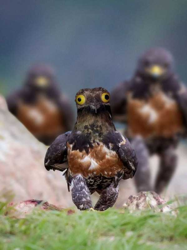 confident-hawk-photoshop-battle-37