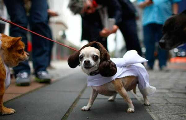 dogs-halloween-costumes-10